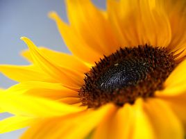 Sunflower... by AgataSwat