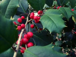 Holly and Berries by lloviendo-amor