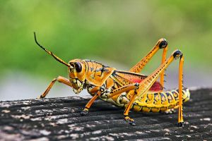 Everglades Grasshopper by papatheo