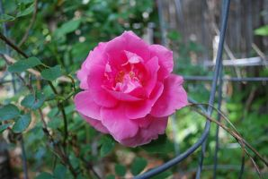 Frist Full Size Rose by 12jack12