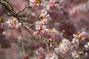 Cherry Blossoms 2 by eyefish