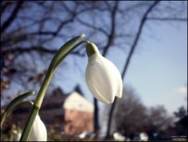 Snowdrop `First sign of spring by Renato9