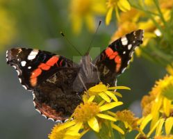 Red Admiral by naturelens