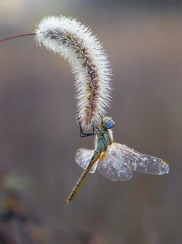 Autumn dragonfly by dralik