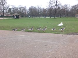 line of ducks by miguelchalupa