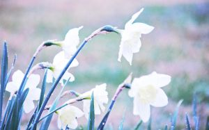 White Daffodils by incolor16