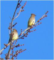 Waxwings by SuicideBySafetyPin