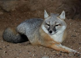 Swift Fox Brooding by Jack-13