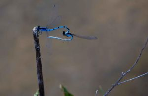 Dragonflies in Love by Dspatzier