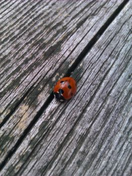 Ladybird by CoralConstellation