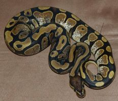Calico Ball Python by Phoenix-Cry