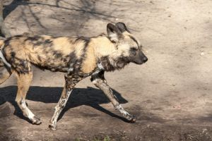 African Wild Dog by ChristopherMarx