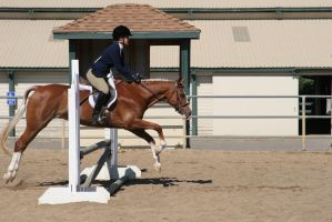 welsh cross pony mare hunter jumper by HorseStockPhotos