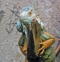 Male Iguana by corvus-corone-corone