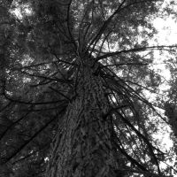 giant tree by Isis089