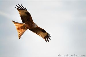 Red Kite 02 by Alannah-Hawker