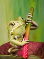Waxy monkey frog by AngiWallace
