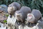 IMG_6199 - Oriental Short Clawed Otters by 0paperwings0