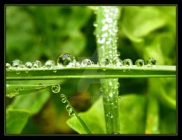 Dew Drops.... by Pjharps