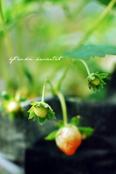 young fruit strawberry by KFT-Andri