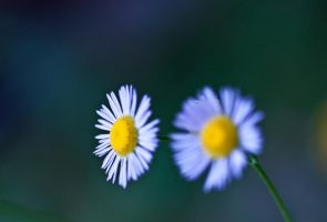 Little White + Yellow Flowers by bloknayrb