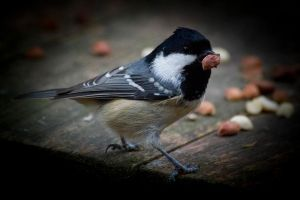 Coal Tit by shemonter
