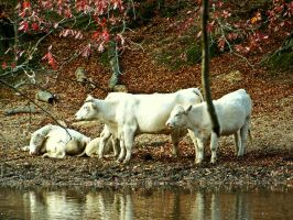 COWS ON THE BANK by SCT-GRAPHICS