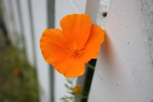 California Poppy by shftwings