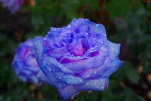 Blue Roses for a Blue Lady by Earthfeeler