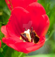 From flower show-33-Tulip by my-cousine-vinny