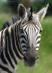 Zebra 612 by caybeach
