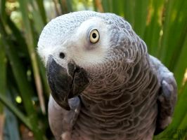 Palm Frond African Grey by Ciameth