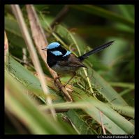 Superb Fairy Wren II by TVD-Photography