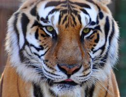 Face of a tiger by NB-PhotoArt