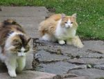 Two cats by Lustanjo-Stock
