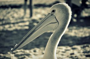 Wonderful bird is the pelican by Caatherinee