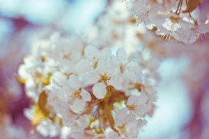 lovely cherry blossom by Freacore