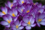 Spring Crocuses by IanSA