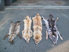 The Coyote Collector by Knuxtiger4
