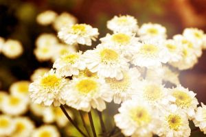 Sunny Daisies by Ithil-Tinu