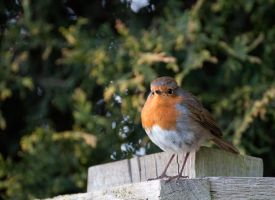 Friendly Little Robin by Tiestarian
