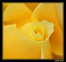 The Yellow Rose by carterr