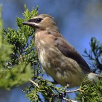 A young Waxwing by masscreation