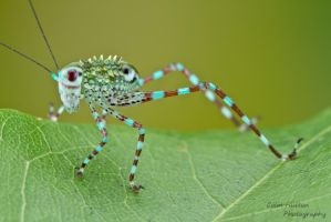 Colorful katydid nymph by ColinHuttonPhoto