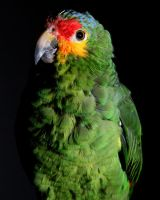Red-Lored Amazon 9 by Xercesa