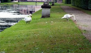 Swans III by Gwendolyn12-stock