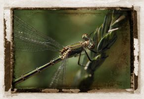 Dragonfly by MaComiX
