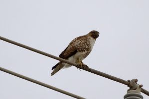 Red Tailed Hawk, Half Moon Bay, CA by FeralWhippet