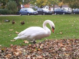 White Swans 09 by Fea-Fanuilos-Stock