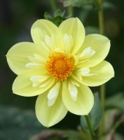 awesome yellow dahlia by ingeline-art